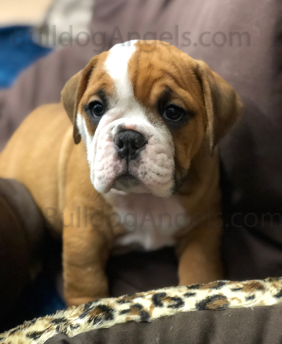 english bulldog puppies kansas city bulldog breeders puppies for sale in kansas city at 479