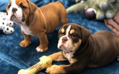 Unique Gift Ideas for Your English Bulldog