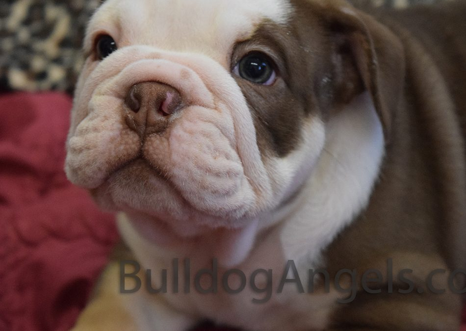 SOLD Major – Chocolate English Bulldog