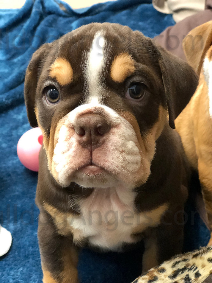 english bulldog puppies kansas city bulldog breeders puppies for sale in kansas city at 9558