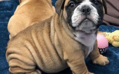 Sold – Sable English Bulldog Puppy Rocky