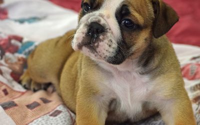 Sable English Bulldog Puppy – Lola