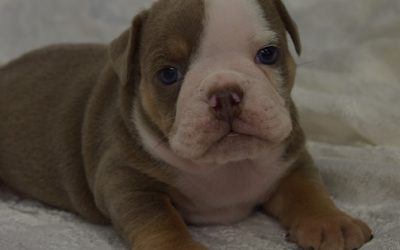 Available- Lilac tri male Blue
