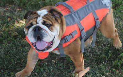 Can English Bulldogs Swim?