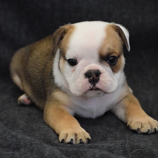 SOLD Dude-Fawn Bulldog