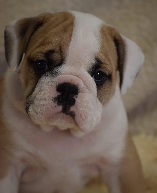 SOLD – Fawn Bulldog Male