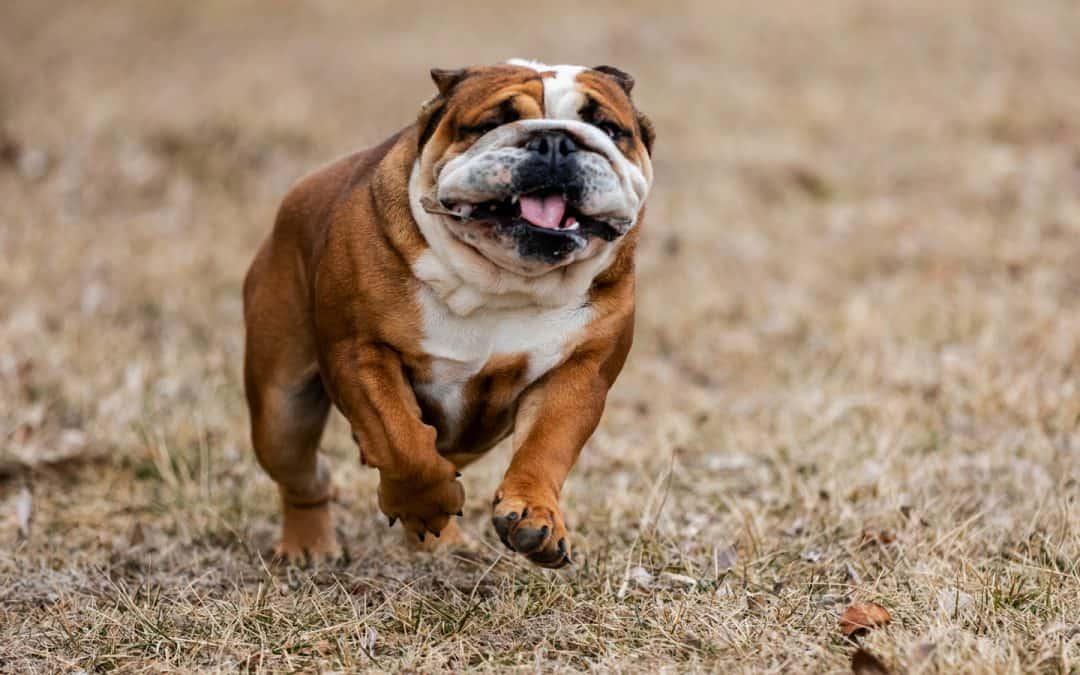 Exercising Your English Bulldog
