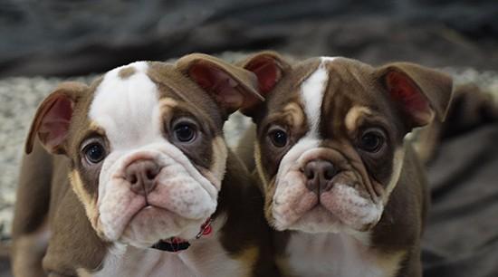 Rare Colored Bulldogs are gaining in popularity