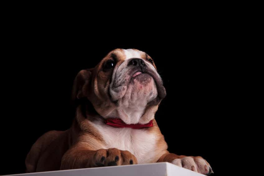 Pros and Cons of Pet Insurance for English Bulldogs