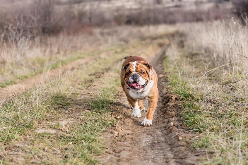5 Reasons Why Your English Bulldog is Barking