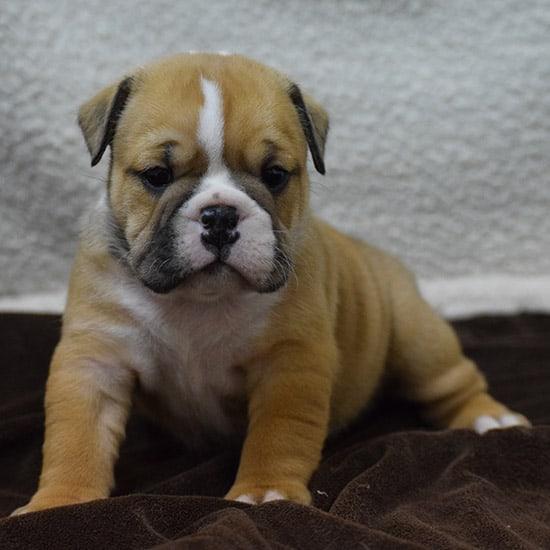 Fawn Tri Color Female Bulldog
