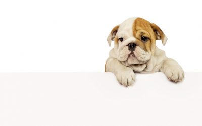 How to Register an English Bulldog