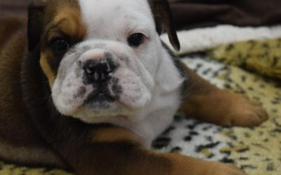 SOLD Bruno English Bulldog Puppy Sable Tri