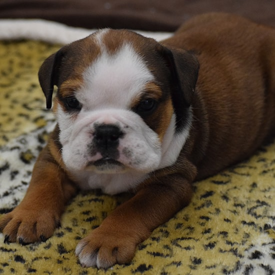 Louise English Bulldog Fawn Sable female puppy